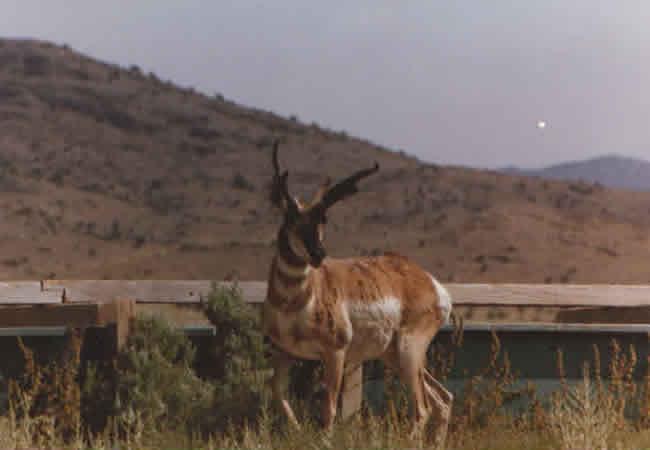 antelope_113
