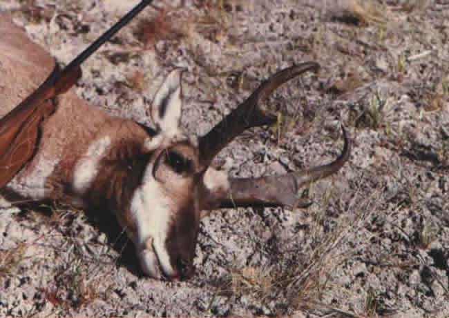 antelope_116
